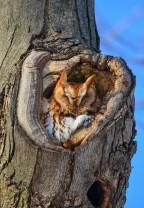 Eastern Screech-owl, Rufous morph