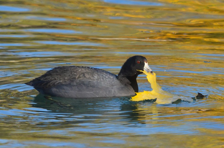 American Coot 1