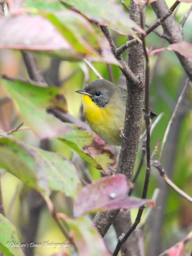 Immature male Common Yellowthroat